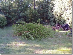 Pile of branches after cutting back annoying mulberry tree.