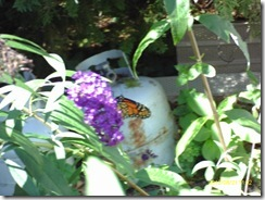 Not a very good picture, but the first monarch I have seen this year.  I was beginning to think my milkweeds would go to waste.