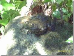 Blurry frog buddy.  I need a better camera.