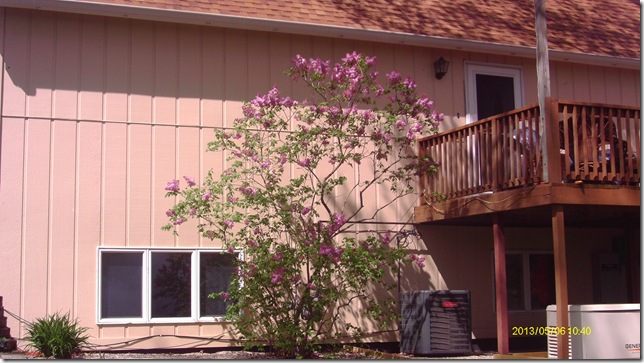 Lilac by front door.