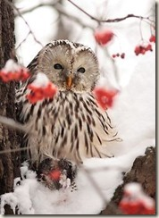 Red berries owl