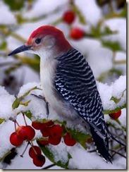 Red bird 4