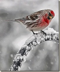 Red bird 6